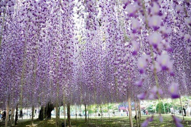 Море красивых цветов в японском парке Асикага (Ashikaga Flower Park)