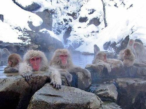 Спа салон для обезьян (Япония)