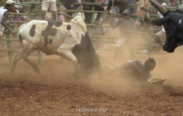 Савика: танцы с быками (Мадагаскар)