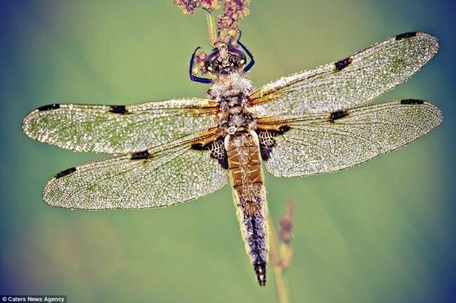 Капли росы на насекомых от Дэвида Шамбона (David Chambon)