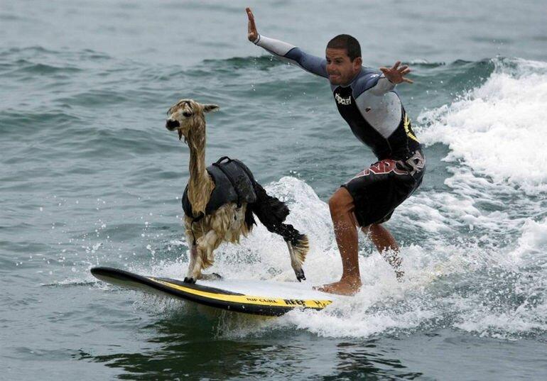 В рядах серфингистов появился альпак (Перу)