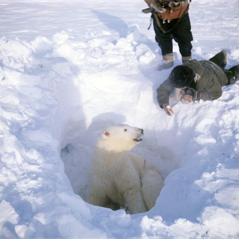 «Остров Врангеля»: роддом для белых медведей (Россия)