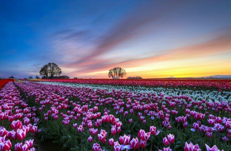 Тюльпанные поля: радость для глаз и кошелька (Нидерланды)