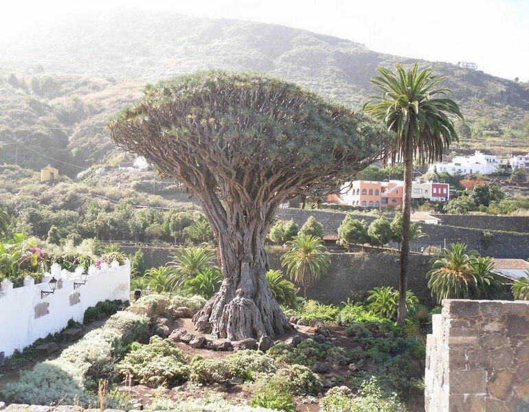 Драконовое дерево Тенерифе: древнейшее дерево в Drago Park (Канарские острова)