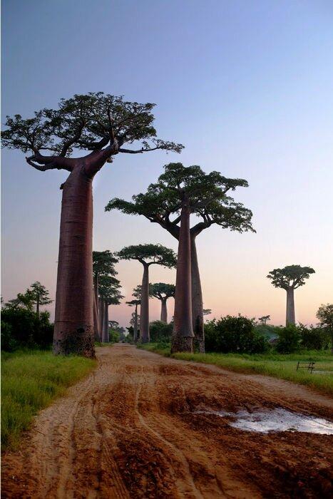 баобабовая роща, Мадагаскар